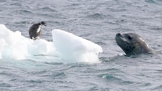 Leopard Seal vs Penguin Chick - Nature is amazing!
