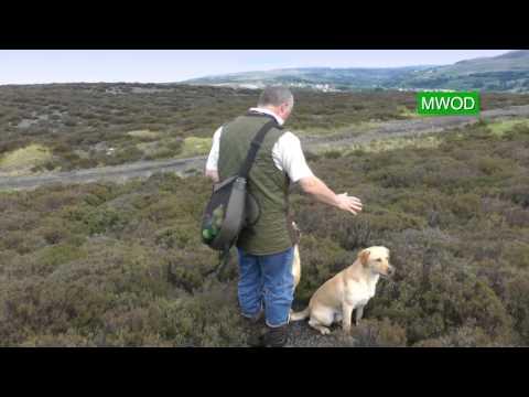 Labrador gun dog training