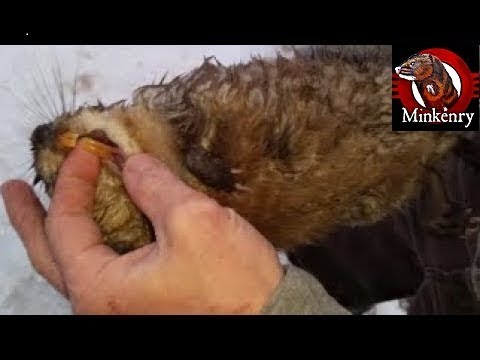 My Most INTENSE Mink And Dog Hunting Muskrats Video Yet!