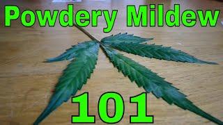 How to treat Powdery Mildew on Cannabis Grow