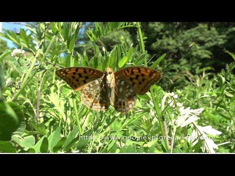 庭のウラギンヒョウモンの飛翔 Fabriciana adippe
