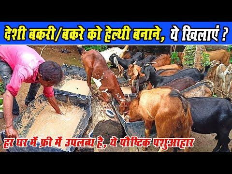 देशी बकरे और बकरी को हेल्थी बनाने क्या खिलाएं? Deshi Bakre/ Bakri Ko Healthy Banane kya khilanyen?