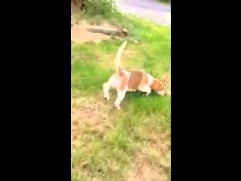 AKC Regstered Purebred Beagle puppy