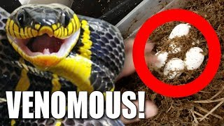 VENOMOUS SNAKE EGGS!!! AND BABY SKINK LIZARDS!! | BRIAN BARCZYK