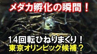 メダカ生まれる瞬間! 産卵床で孵化した楊貴妃【メダカ水槽#14】