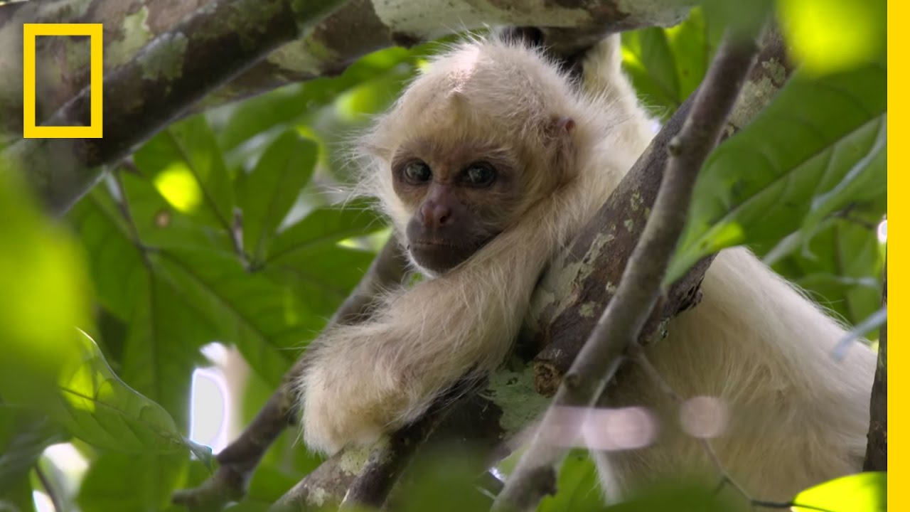 Exclusive: Rare Ghost Monkeys Filmed in Colombia | National Geographic thumbnail