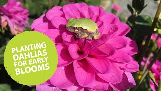 How to plant dahlias early | The Impatient Gardener