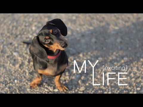 My life by Sausage Dog - Dachshund/Teckel mini