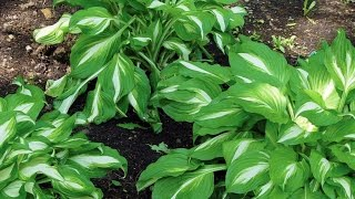 Perennial Hosta for Shade Gardens