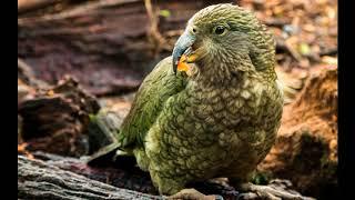 Endangered Species  - The  Endangered and the flightless Parrot is Kakapo