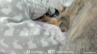 Human negotiates blanket change with feral mama cat Nelia - TinyKittens.com