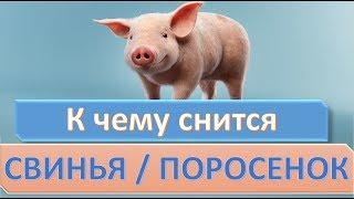 К чему снится Свинья видео -К чему снится свинья (поросенок)