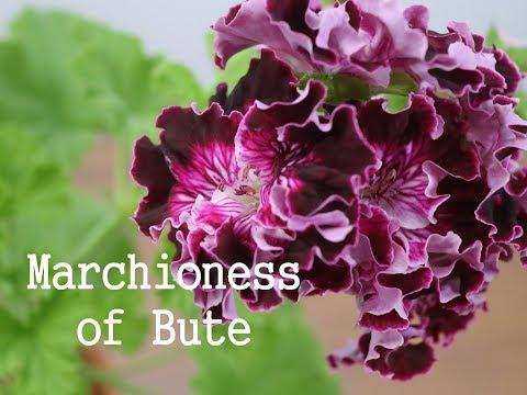 244.Pelargonium   Marchioness of Bute  마셔니스 오브 뷰트