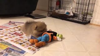 fuzziest litter teddy bear puppies playing a ground toy| pomeranian teddy bear face cute pom