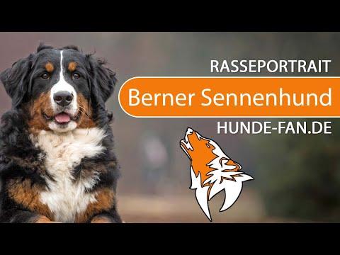 Berner Sennenhund [2018] Rasse, Aussehen & Charakter