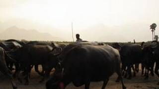 Buffalo Herd in Thirukkurungudi Village