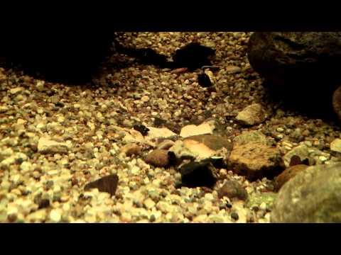 Az úgynevezett szarvasmarha szalagféreg betegség