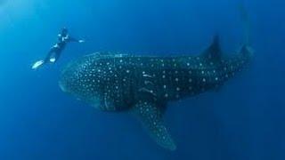 Смотреть онлайн Огромная тигровая акула атакует людей