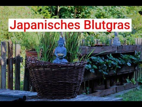 Japanisches Blutgras oder auch 'Was mache ich mit dem alten Holzkorb'