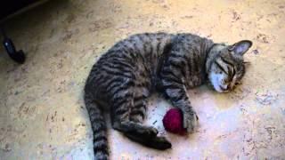 Кот играет с клубком. Прикольный кот Филька