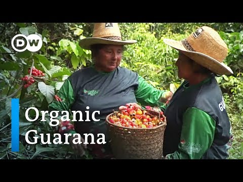 Organic Guaraná in Brazil: Indigenous peoples show the way | Global Ideas
