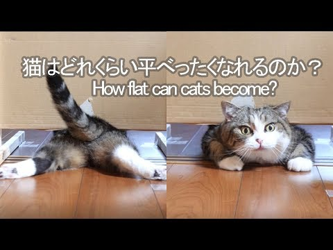 How Flat Can a Cat Get?