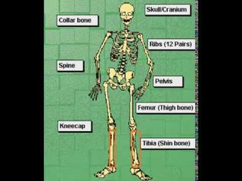 skeletal system science project ideas