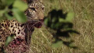 Young Leopard makes first Big Kill | BBC Earth