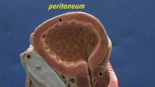 Pelvis - Skeletal Muscles & Urinary Bladder