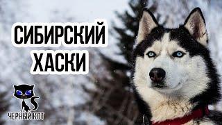 Хаски, интересное о породе сибирский хаски / Интересные факты о собаках