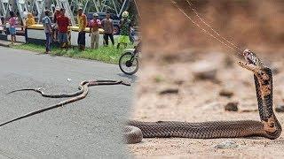 Sepasang Ular Kobra Tak Mati Meski Ditembak, AKhirnya Mati Terlindas Mobil