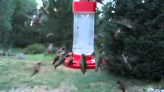 Die besten 100 Videos Kolibrie Futterstelle - Hummingbird infestation