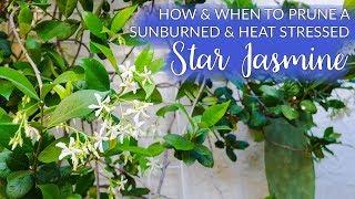 How & When To Prune A Sunburned Star Jasmine (Confederate Jasmine) Vine / Joy Us Garden