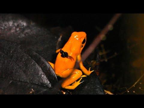 Tadpole transport by Golden Poison Frog