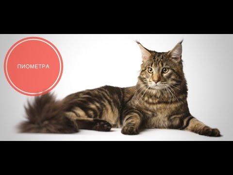 Пиометра собак и кошек