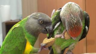 Truman Cape Parrot - Kili Senegal Parrot - Enjoy Almond Together