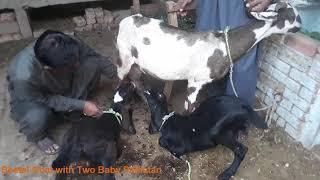 Beetal Goat Farm Pakpattan Sharif Pakistan - Goat Farming