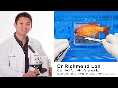 Veterinarian performs eye surgery on a goldfish