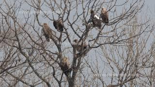 ワシのなる木の動画素材, 4K写真素材