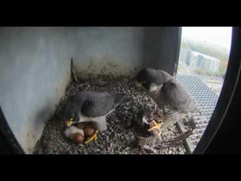 Nest 2: Female Brings Prey - 12.04.17