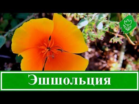 Цветы эшшольция – посадка и уход, выращивание эшшольции из семян; эшшольция калифорнийская