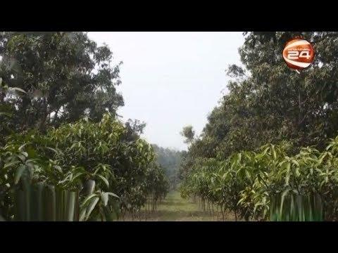 চাঁপাইনবাবগঞ্জে জলবায়ুর বিরূপ প্রভাবে দুশ্চিন্তায় আম চাষীরা