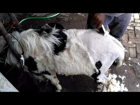 Video Perawatan Domba Garut Super