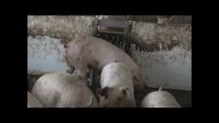 The Hidden Face of Pork