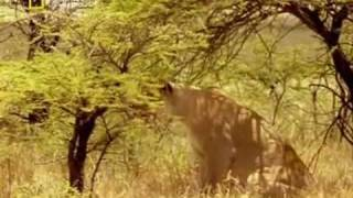 Rare Footage of a Lion fighting a Cheetah