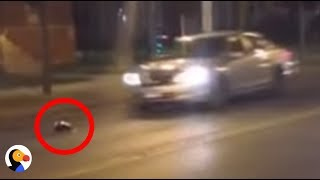 Blinded Skunk Runs Into Traffic Until Driver Rescues Him | The Dodo
