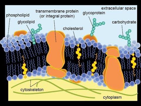 Giardia ยกระดับเซลล์เม็ดเลือดขาว