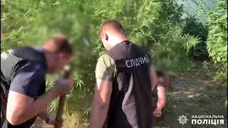 Полиция изъяла у жителя Николаевской области трехметровые кусты конопли и патроны