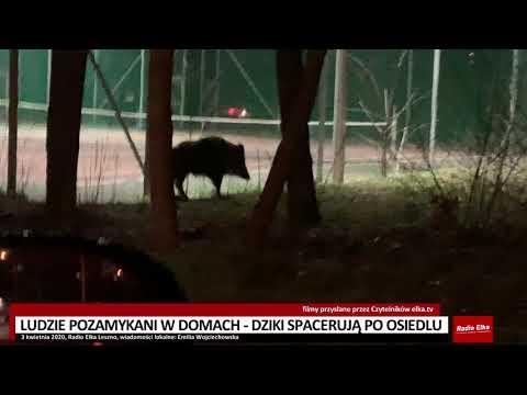Wideo1: Dziki wyszły z lasu do pustych osiedli