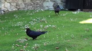 preview picture of video 'Ravens @ The Tower of London'